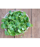 SHIPPED FROM US 3000+WATERCRESS Organic Non-Gmo SUPERFOOD Seeds, CB08 - $27.00