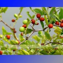20 Seed Ziziphus Jujube Seeds Chinese Date Hardy Plant, DIY Beautiful Tr... - $10.99
