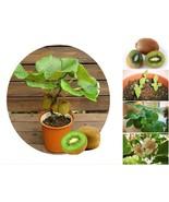 20 Thailand Mini Kiwi Fruit Bonsai Fresh Seeds, Delicious Exotic Mini Ki... - $1.99