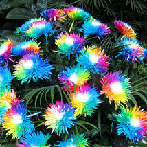 Rainbow Chrysanthemum Seeds Plants Bonsai Perennial Flowers Home Garden 200pcs - $8.90