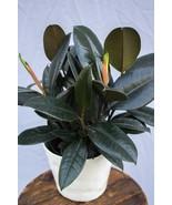 """Live Plant Burgundy Rubber Tree Ficus Fit 6"""" Pot Garden Outdoor Indoor B... - $12.19"""