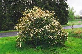 Pragense Viburnum image 4