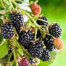 1 Gal Lucretia Dewberry Live Plant Sweet Dewberries Outdoor Living Garde... - $112.00
