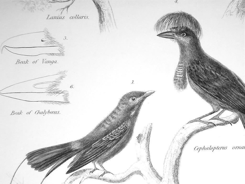 BIRDS Ornithology Vanga Srike Fiscal Tanager Finch - c1835 Fine Quality Print