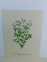 VTG Jacobs Ladder Greek Valerian  9x12 Frameable Print Nature Flower - $11.75