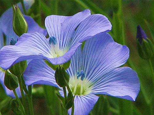 Primary image for TkCreekllc 2000 Seeds, Blue Flax Seed, Beautiful Striking Blue Flax Flowers