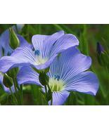 TkCreekllc 2000 Seeds, Blue Flax Seed, Beautiful Striking Blue Flax Flowers - $39.60