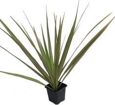 "Colorama Madagascar Dragon Tree - Dracaena marginata - 2 Plants - 3"" Pot  - ₨1,031.71 INR"