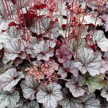 """2.5"""" pot heuchera NORTHERN EXPOSURE SILVER new coral bells 1 Live Potted... - $35.99"""