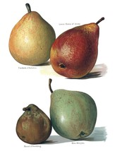Vintage Fruit Prints: Glou Morceau - Fruit Growers Guide - 1880 - $12.95+