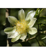 """SHIP From US, 4"""" Pereskia aculeata gold Variegated, succulent plant cact... - $44.99"""