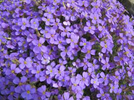 rockcress, PURPLE flower, perennial, 385 SEEDS! - $12.75
