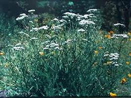 23 Seeds White Yarrow Seeds, - $13.86