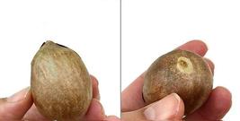 2 Organic Avocado Seeds, Non-GMO, Variety: Hass image 10