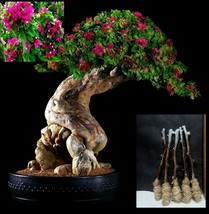 """5 Green Bougainvillea """"Pink Pixie"""" Tree Cutting - $27.62"""
