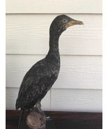 taxidermy  pygmy cormorant very good mount  - $295.00