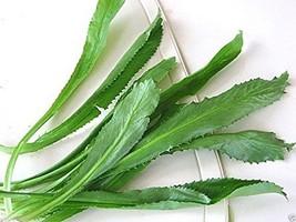 100 Seeds Culantro Seeds, Recao, A. K. A; Vietnamese Coriander, Thai Par... - $5.21