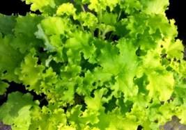 1 Starter Plant Heuchera Winter Joy Coral Bells, Heuchera Plant - RK - $26.00
