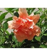 Live Starter Plant Hibiscus Double Orange Flower Summer Blooming - $17.99