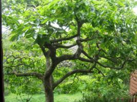 American Persimmon tree  qt. pot (Diospyros virginiana 'American)  image 5