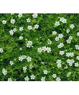 10.000 Bulk Seeds Elegant Irish Moss Pearlwort Sagina Subulata #SMA23 - $112.99