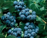 Blueberry - 'Sharp Blue' - Vaccinium (Southern Highbush) - $701,27 MXN