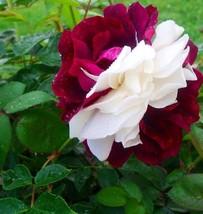 Zampa Dust Rose Bi-Color Bonsai Flowers 50pcs/package, dark red white big blooms - $5.90