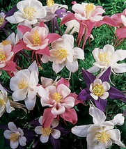 50 Songbird Columbine Flower Perennial Seeds #STL17 - $15.17