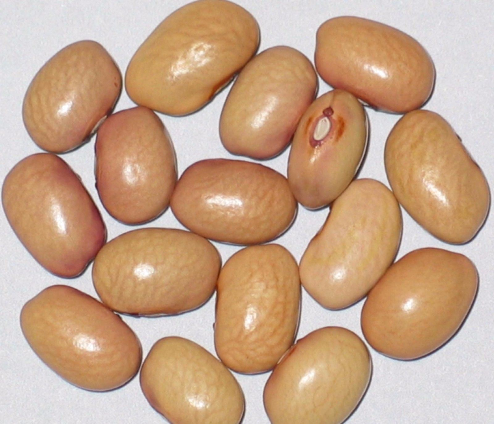 SHIPPED From US_New Mexico Bolita Bean Seeds, 2 oz Seed-WB