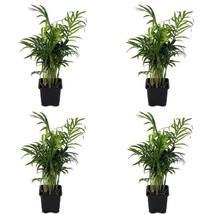 """4 Victorian Parlor Palm Plant Chamaedorea Indestructable 3""""Pot Best Gift... - €21,19 EUR"""