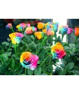 Rare Holland Rainbow Rose Bush seeds Shipping from USA - $6.83+