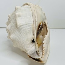 Large Sea Shell Seashell 8 Inch Beach Home Decor Nautical - $29.99