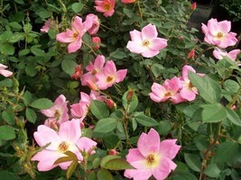 Rainbow Knock Out® Rose 3 Gal. Live Bush Plants Bushes Plant Patented Roses Home - $54.40