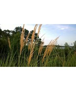 Organic Native Plant, Indian Grass, Sorghastrum nutans - $3.75