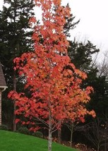 Sweetgum tree (Liquidambar styraciflua) image 1
