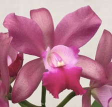 Rhyncattleanthe Phinyophan Boy CATTLEYA Orchid Plant Pot BLOOMING SIZE 0503 H image 1
