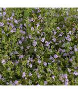 """2.5"""" pot sun calamint MARVELETTE BLUE perennial flowers 1 Live Potted Plant - $32.99"""