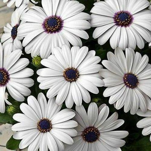 Primary image for African Daisy White Flower Seeds (Dimorphotheca Ecklonis White) 200+Seeds