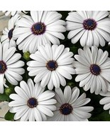 African Daisy White Flower Seeds (Dimorphotheca Ecklonis White) 200+Seeds - $38.21