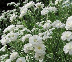 200 seeds of Gypsophila paniculata snowflake Flower - $15.72