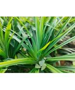 Pandan Dry leaves Powder Natural Organic Pandanus Plants Leaves - $7.10