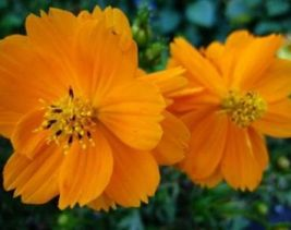 Shipped From Us, Cosmos Orange 30 Fresh Flower Seeds*Free Us SHIPPING-SPM - $16.99