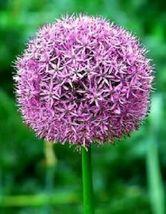 Ship From Us 25 Giant Allium Globemaster Allium Giganteum Flower Seeds SBR4 - $14.00