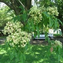 Bee Tree - Euodia hupehensis - 50+ seeds - $8.99