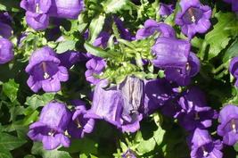 SHIPPED FROM US 400 Blue Canterbury Bells Campanula Medium Flower Seeds, SB01 - $19.50