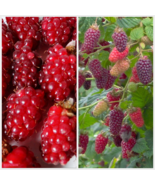 Live Plant Tayberry Rooted Raspberry Blackberry Cross Fruit Sweet - $27.49