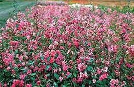 100 Godetia Tall Mix (Grandiflora) Seeds - $5.94