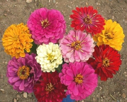 SHIPPED From US,PREMIUM SEED: 275 Particles of Zinnia, Fresh Hand-Packaged