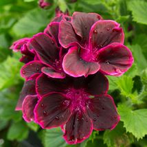 50 Maroon Pink Geranium Seeds Hanging Basket Perennial Flowers - TTS - $29.95