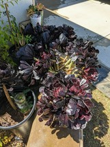 "TWO (2 ) 9"" Healthy, Thick, Long Cuttings Black Rose Aeonium arboreum SC... - $13.55"